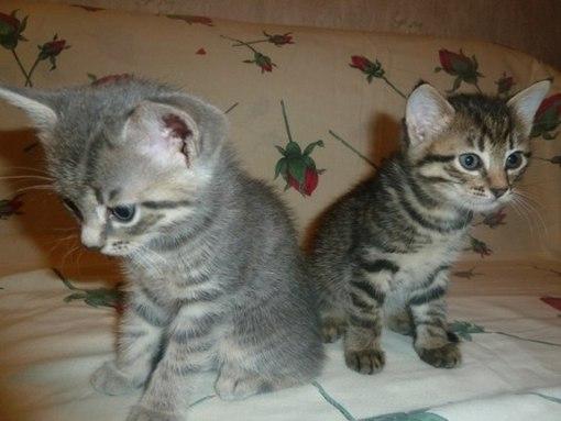 котята сосновый бор