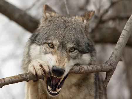 Kak hitryj vol volkov obmanul